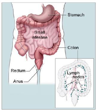 Anatomy of the colon (from the National Cancer Institute)